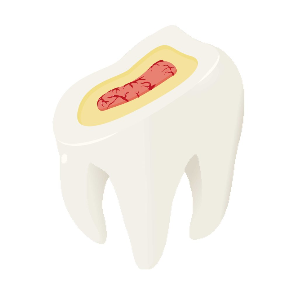 Model of a tooth showing its three layers